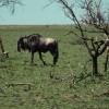 """Weißbart-Gnu in der Buschsavanne der Serengeti. Die Gnus sind nach dem weißen """"Bart"""" am Hals benannt.© Hans-Ulrich Pews, Berlin"""
