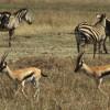 Zwei grazile Thomson-Gazellen gemeinsam mit Steppen-Zebras in der Grassavanne der Serengeti© Hans-Ulrich Pews, Berlin
