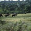 Eine Herde Kaffernbüffel im waldreichen Teil der Serengeti© Hans-Ulrich Pews, Berlin
