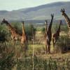 Masai-Giraffenherde – erkennbar an der weinlaubartigen Musterung – in der Buschsavanne der Serengeti© Hans-Ulrich Pews, Berlin