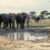 Großohrige Afrikanische Elefanten an der Suhle in der Akaziensavanne der Serengeti© Hans-Ulrich Pews, Berlin