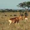 Kuhantilopen in der Grassavanne der Serengeti© Hans-Ulrich Pews, Berlin