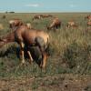 Topis, eine Antilopenart, in der Grassavanne der Serengeti© Hans-Ulrich Pews, Berlin