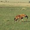 Tüpfelhyäne mit Jagdbeute auf dem Wege zu ihren Jungen, Grassavanne der Serengeti© Hans-Ulrich Pews, Berlin