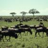 Die Gnus sammeln sich zu Herden, bevor die jährliche große Tierwanderung in der Serengeti beginnt.© Hans-Ulrich Pews, Berlin
