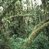 Im tropischen Berg- und Nebelwald am Kilimandscharo bilden mit Lianen und Flechten behangene sowie mit Moosen, Farnen und Orchideen bewachsene Bäume von bis zu 40 m Höhe ein undurchdringliches Dickicht.