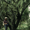 In der Heide- und Moorlandschaft gibt es Wälder von Baumheiden (eine Heidekrautart), die Höhen von 10 m erreichen. Auch sie sind stark von Bartflechten behangen.