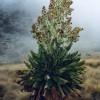 Die Riesenkreuzkräuter (Senecio) sind typische Pflanzen der Moorlandschaften am Kilimandscharo in Höhen von 3000 bis 4000 m.
