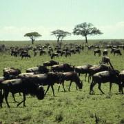 Die Gnus sammeln sich zu Herden, bevor die jährliche große Tierwanderung in der Serengeti beginnt.
