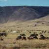 Riesige Gnu-Herden grasen im Ngorongoro-Krater