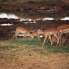 Impalas, an zwei schwarzen Streifen in ihrem Spiegel erkennbar, im Tarangire-Nationalpark