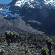 """""""Urzeitliche"""" Senecien (Riesenkreuzkräuter) in 3900 m Höhe am Südhang des Kibo (Kilimandscharo); am Gipfel sind der Heim-, Kersten- und Decken- Gletscher sichtbar (v.l.n.r.)"""