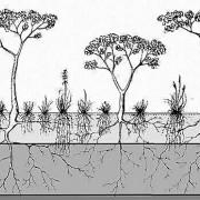 Der Wurzelraum von Bäumen und Gräsern der Savannen