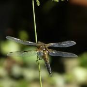 Die Flügel einer Libelle schillern bei Beleuchtung mit weißem Licht in den unterschiedlichsten Farben.