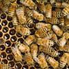 Waben der Honigbienen