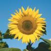 Sonnenblume, ein Korbblütengewächs