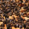 Waben mit Honigbienen